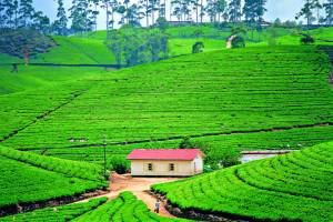sri tea plantation